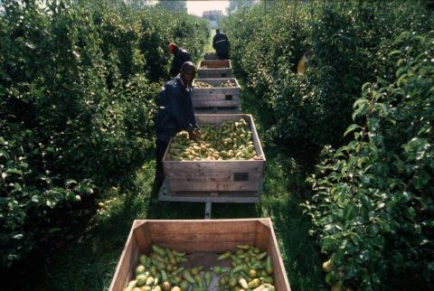 Peren oogsten