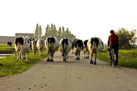Koeien ophalen