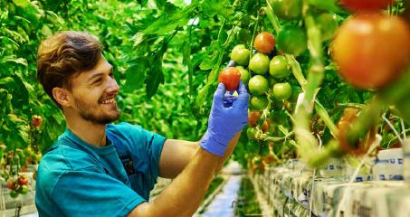 Tomatenplukker