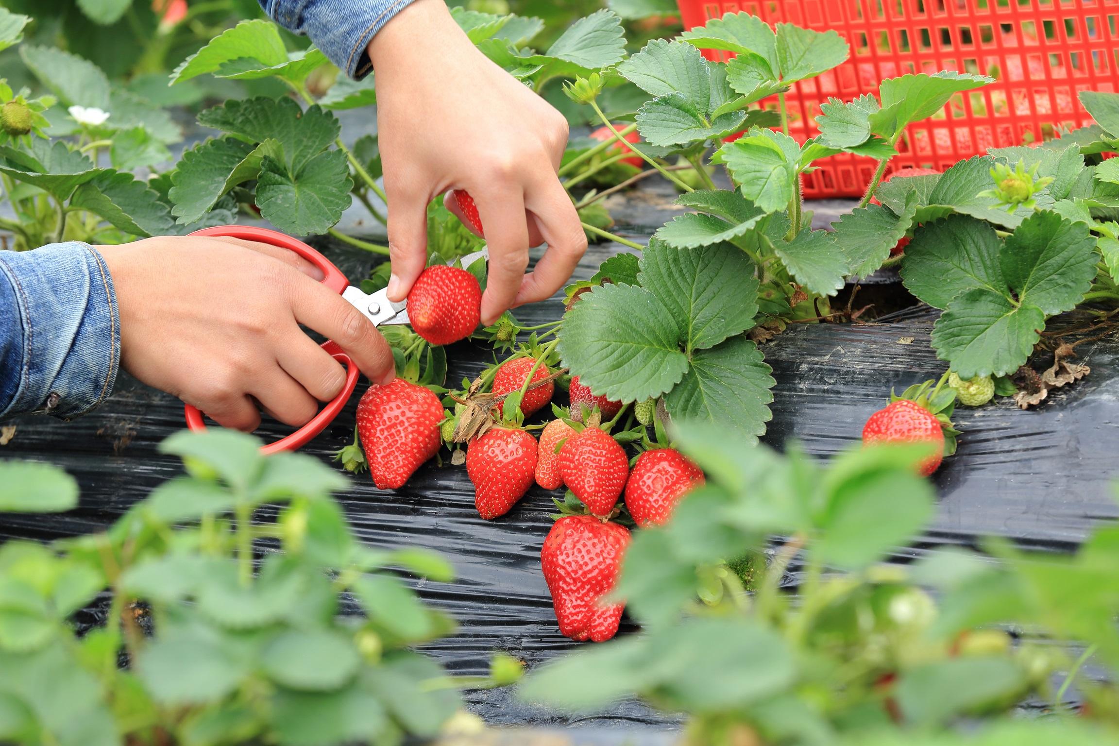 Aardbeien oogsten