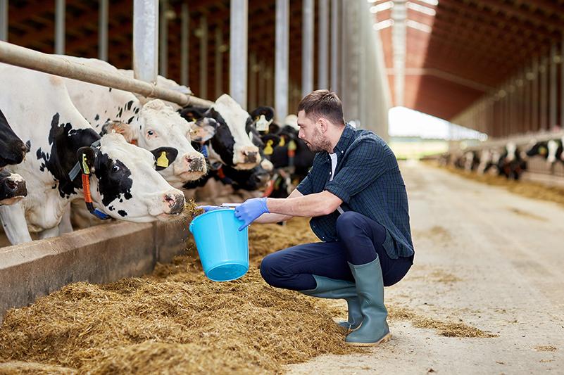 Boer voert koeien