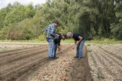 Akkerbouwers op het veld bij een rij uien