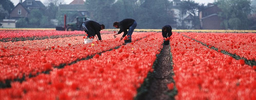 Weknemers in rood bloembollenveld